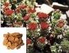 Rhodiola Rosea P.E. Rhodiola Rosea Extract, Rhodiola Rosea Powder, salidroside and salidroside aglycon,
