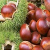 china big fresh chestnut
